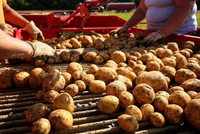 Intersnack Adria ove godine otkupljuje čak 19 tisuća tona krumpira lokalnih proizvođača