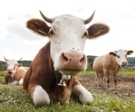 Ministarstvo poljoprivrede: stočarska inspekcija od 1. siječnja započinje s nadzorom